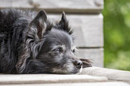 Alimentação saudável do cão idoso inclui fibras