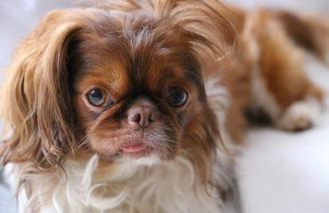Cachorro espirrando sangue pode ser problema dentário