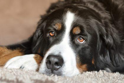 Olho de cachorro inflamado, como tratar