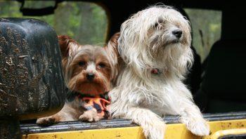 O que fazer para cachorro não enjoar em viagens