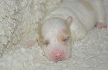 Cuidados com filhotes de cachorro recém-nascidos