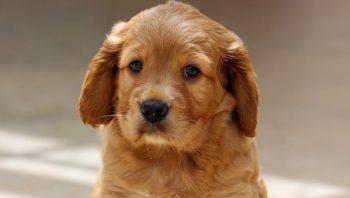 Filhote de cachorro com vômito e diarreia pode ser cinomose?