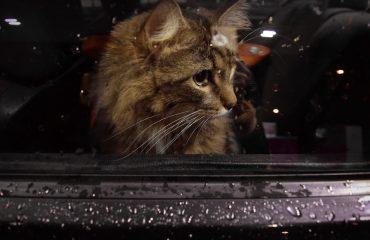 Gato que odeia andar de carro
