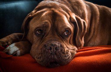Nariz de cachorro descamando, como tratar