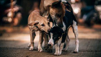 Como escolher um cachorro com sarna