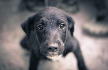 Pus na pele do cachorro, causas e tratamento
