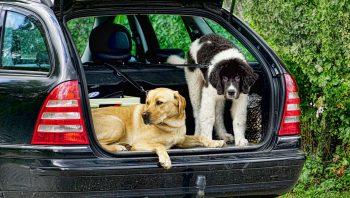 cachorro que odeia viajar de carro