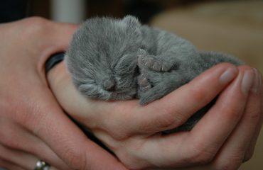 Complicações no parto de gatos, o que fazer?