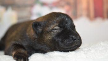 O que dar de comer para cachorro recém-nascido
