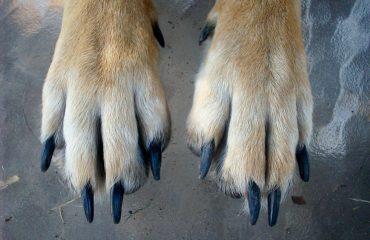 Unha de cachorro encravada, como tratar