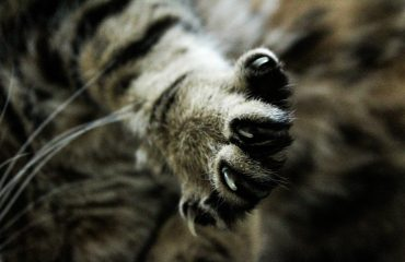 Como tratar unha inflamada de gato