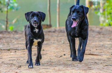 Doença venérea em cachorro pode não ter sinais clínicos aparentes.