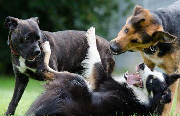 Lembre que mesmo cães afáveis podem se entreverar em uma briga por uma causa específica, seja por comida, território, afeto.