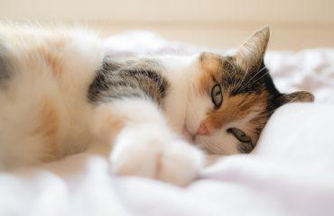 O que dar para gato com febre