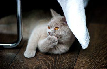 Quando começa o cio da gata e quanto tempo dura?