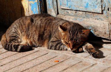 Gato que sente a falta do dono
