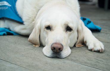 Causas e tratamento de diarreia em cães