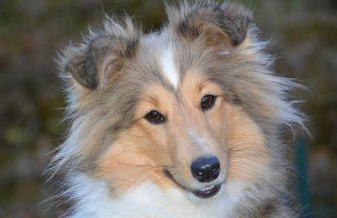 Quando aplicar anticoncepcional na cadela?