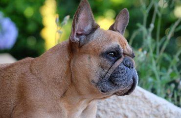 8 Causas de tosse em cachorro