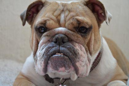 Qual a dose de insulina para um cão diabético