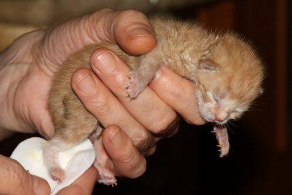 Como saber se os filhotes ainda estão vivos na barriga da gata
