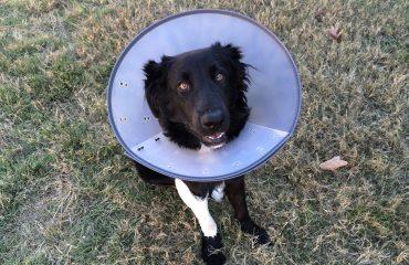 Ferida de cachorro que não cicatriza, o que fazer?
