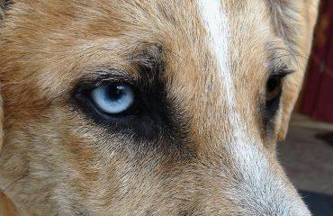 Remela no olho de cachorro pode ser doença grave