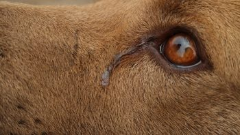 Remela no olho de cão pode ser pneumonia
