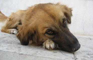 conheça as fases da parvovirose canina