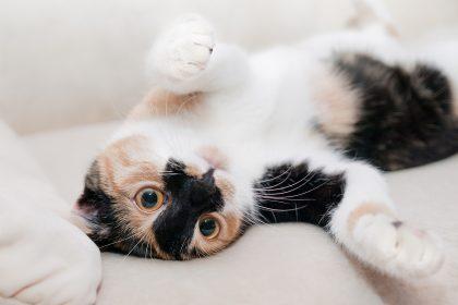 Como saber se a gata está no cio