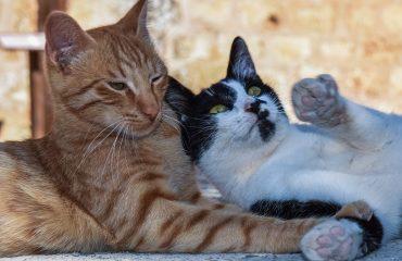 Quais são os sinais de cio em gatas?