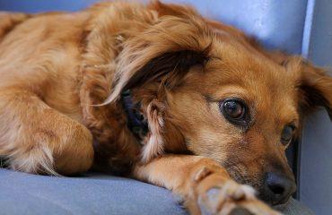 Cachorro adoece de saudade?