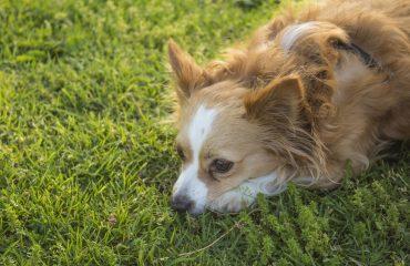 Como evitar parvovirose em cachorro