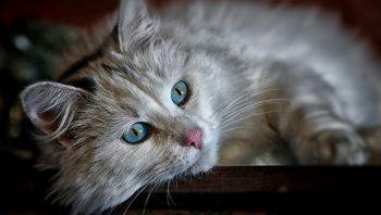 Como evitar diabetes em gatos