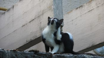 Gato pega carrapato? E o que fazer se estiver grudado nele?