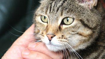 Como saber se o gato está diabético