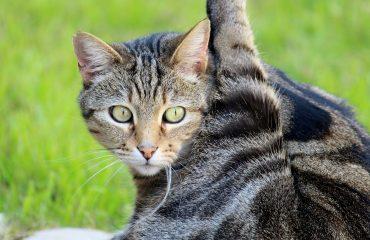Por que gatos se lambem?