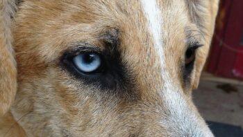 Remela no olho de cachorro pode ser vermes?
