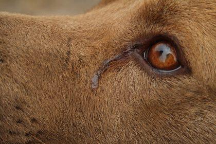 Secreção no olho do cachorro: remela pode ser sinal de doença