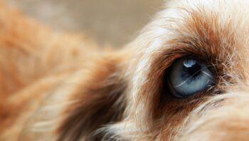 Sinais de problema no olho do cachorro
