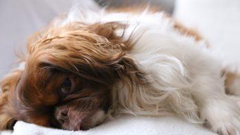 Cadela fica ofegante depois do parto?