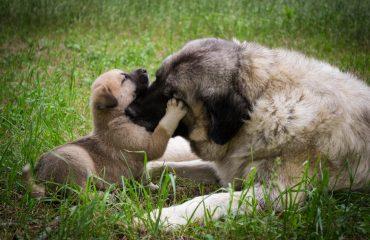 Qual a idade ideal para uma cadela ter filhotes