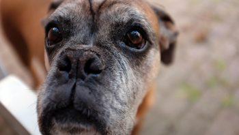 Sarna em cachorro: saiba como tratar. E cuidado que ela pode passar para você