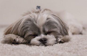 Quantas horas um shitzu dorme por dia