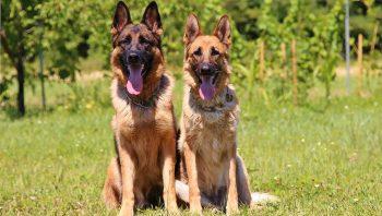 Uma cadela pode engravidar de mais de um cachorro no mesmo cio