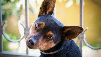 Pomadas e tratamento para dor de ouvido em cachorro