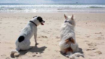 O que fazer quando o cachorro não quer cruzar?