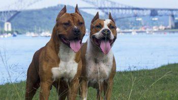 Quanto tempo dura cruzamento de cachorros