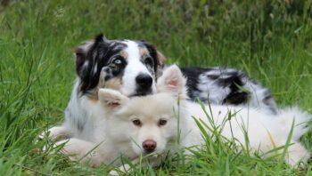 Quantos dias a cadela fica no cio depois do sangramento?