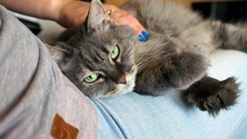 Por que gatos gostam de dormir em cima dos donos